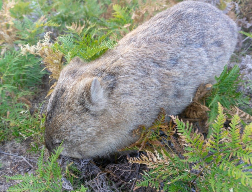 wombat on wilson's promontory walk