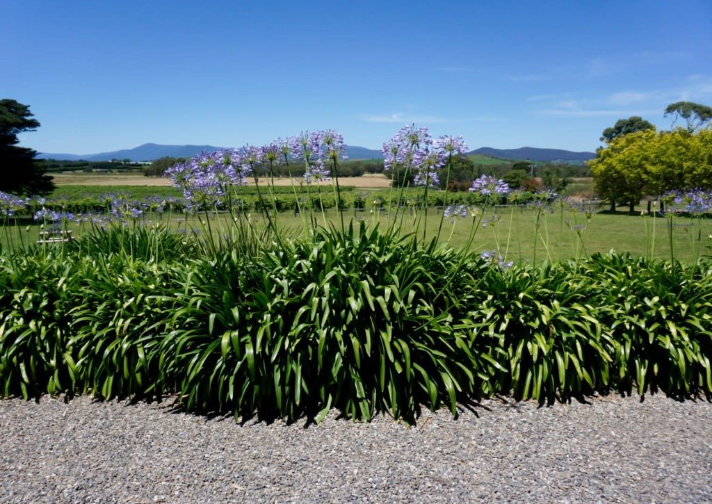 a vineyard in the Yarra Valley