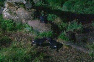 Devils Cradle Tasmanian devils